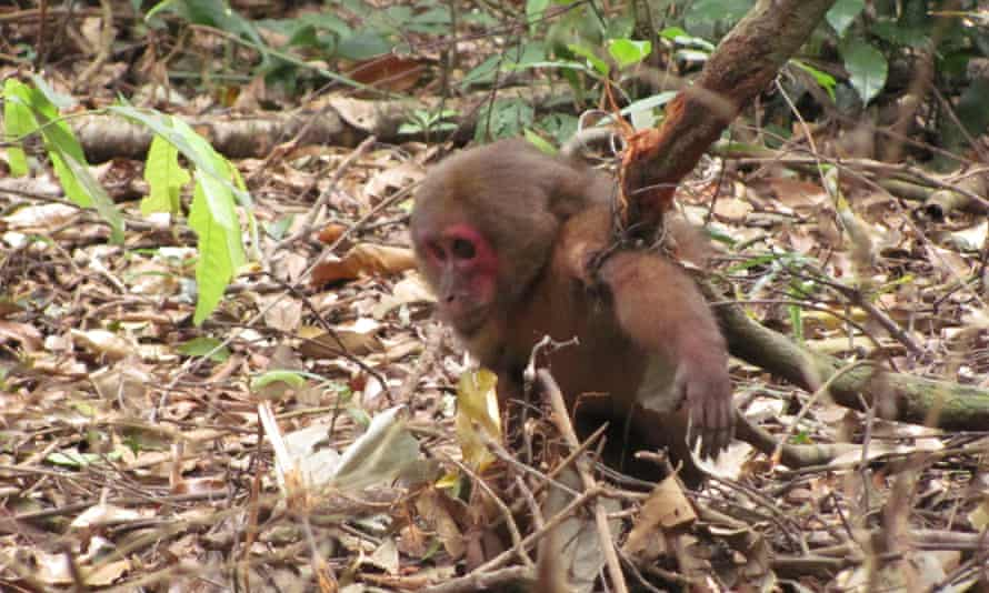 A stump-tailed Macaque caught in snare trap in Laos.