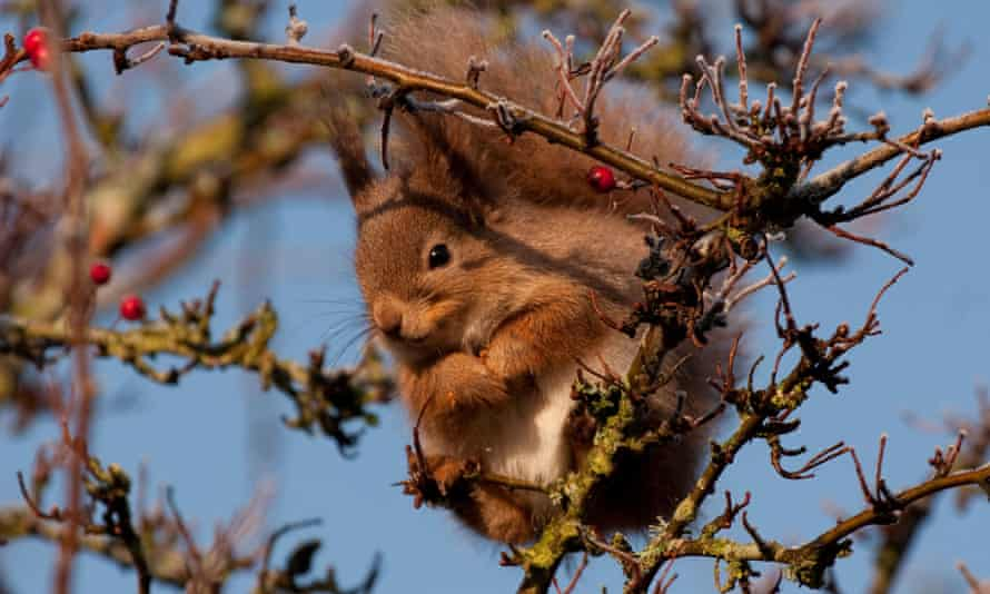 A red squirrel eating berries on the Isle of Wight