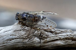 A cicada rests on a pine tree during the heat of summer in Valbonne in the south of France