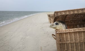 Abandoned seal pup released into the North Sea on the island of Juist, northern Germany.
