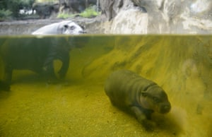 Pygmy hippo Petre celebrates her 31st birthday with her calf Obi at Melbourne zoo, Australia