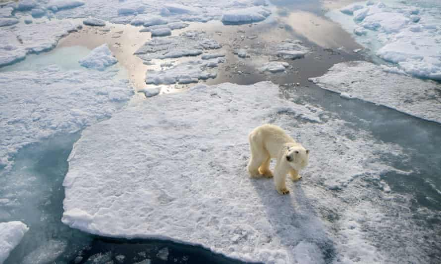 A skinny polar bear is isolated on fragments of sea ice at the start of the Arctic summer.