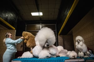 Erin Lubin: Poodles, October 2018 Standard poodles wait patiently backstage for their turn to participate in the Rapid City Kennel Club dog show in South Dakota.