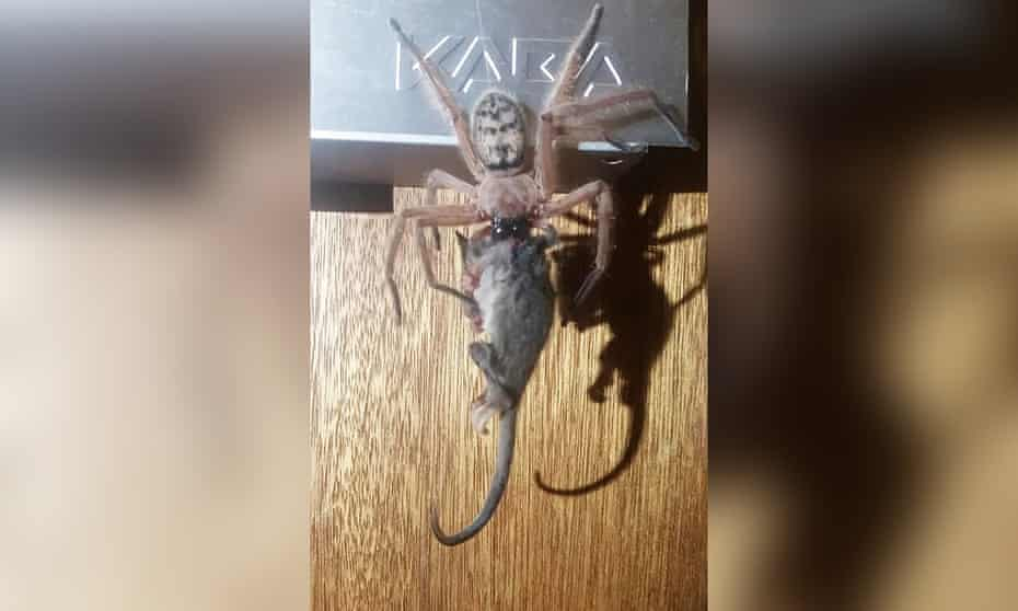 The photo of a huntsman spider in Australia attempting to eat a pygmy possum was posted to the Facebook page Tasmanian Insects and Spiders.