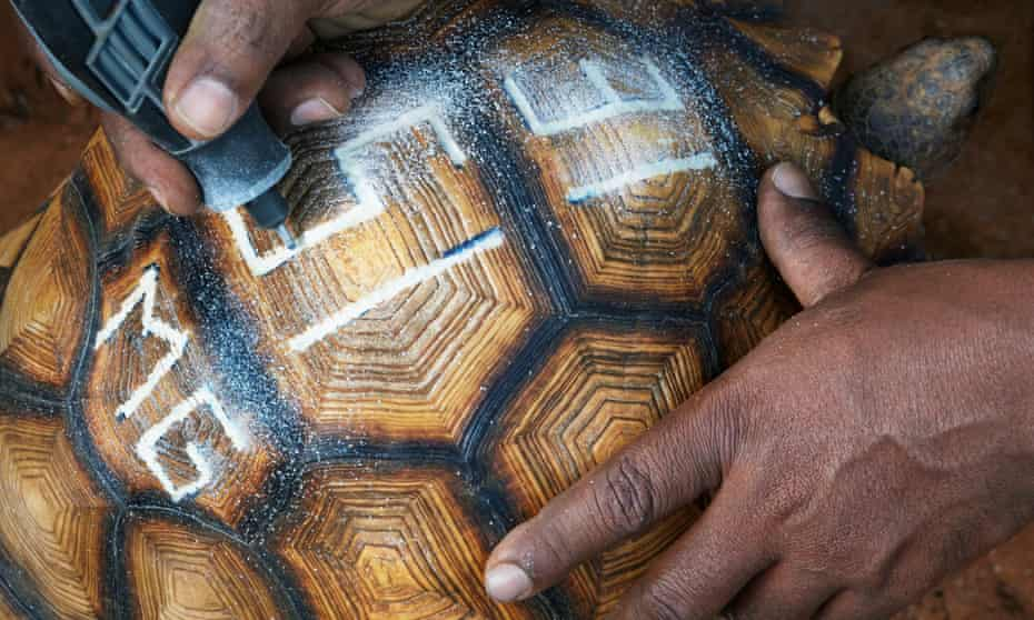 A ploughshare tortoise being marked to deter smugglers.