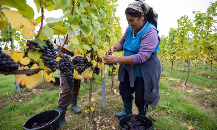 Workers pick grapes at the Cottonworth Vineyard in Hampshire.