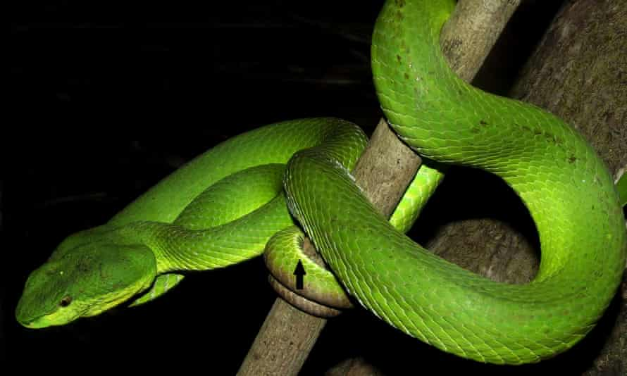 The new species of pit viper is only found in the Nicobar Archipelago in the Indian Ocean