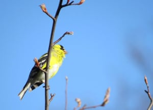 American GoldfinchPerched above the fray, singing away in the sun