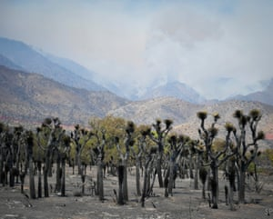 Joshua trees near Kernville, California, burnt by the Erskine Fire which can be seen in the distance. The fire, which is still going, has burned over 35,000 acres so far