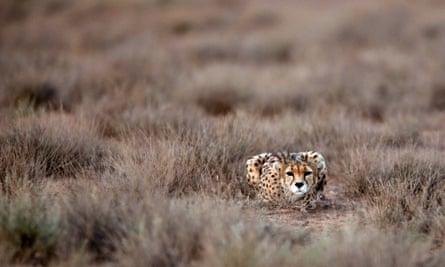 An Asiatic Cheetah in Iran in 2014.