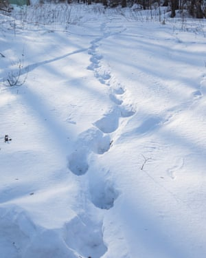 The tracks of a Siberian tiger in the deep snows of Primorski province where tigers live