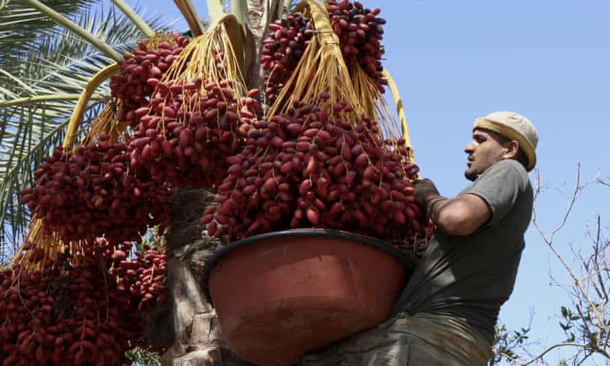 A farm worker harvesting dates on a farm in Deir el-Balah, central Gaza Strip.