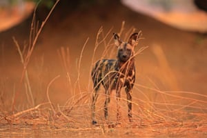 An African wild dog stands on the edge of a dry river gully as it prepares to go on a hunt in the early morning in Mana Pools national park, Zimbabwe.