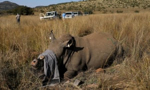 A rhino that has been dehorned in an effort to deter poaching lies on the ground, amid the spread of the coronavirus, at the Pilanesberg Game Reserve in North West Province, South Africa, 12 May 2020.