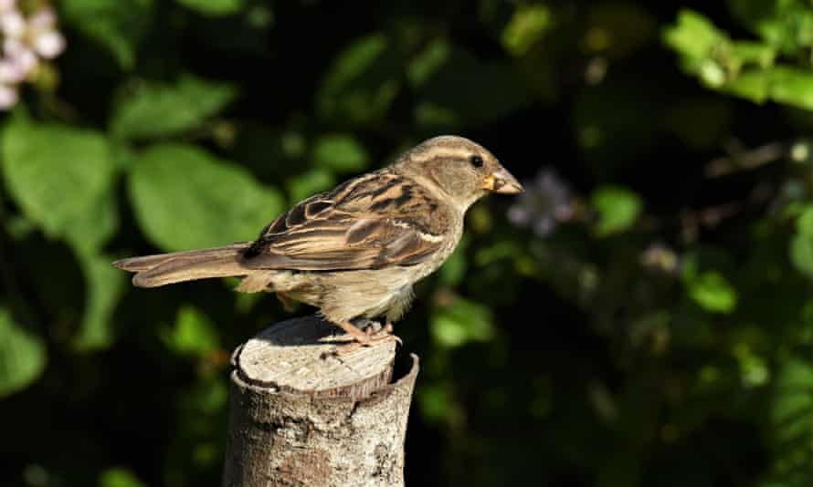 A female house sparrow