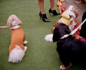 Chewie the Shitzu (in a tangerine merino jumper by Howlpot) and Biscuit the King Charles Cavalier (in a yellow harness by Furry Couture)