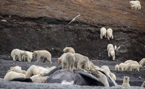 Polar bears feast on the carcass of a bowhead whale on the shore of Russia's Wrangel Island