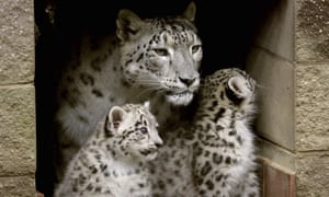 In a picture from 2010, two snow leopard cubs stand next to their mother, Himani, at the entrance to their den at the Cape May County Zoo in New Jersey.