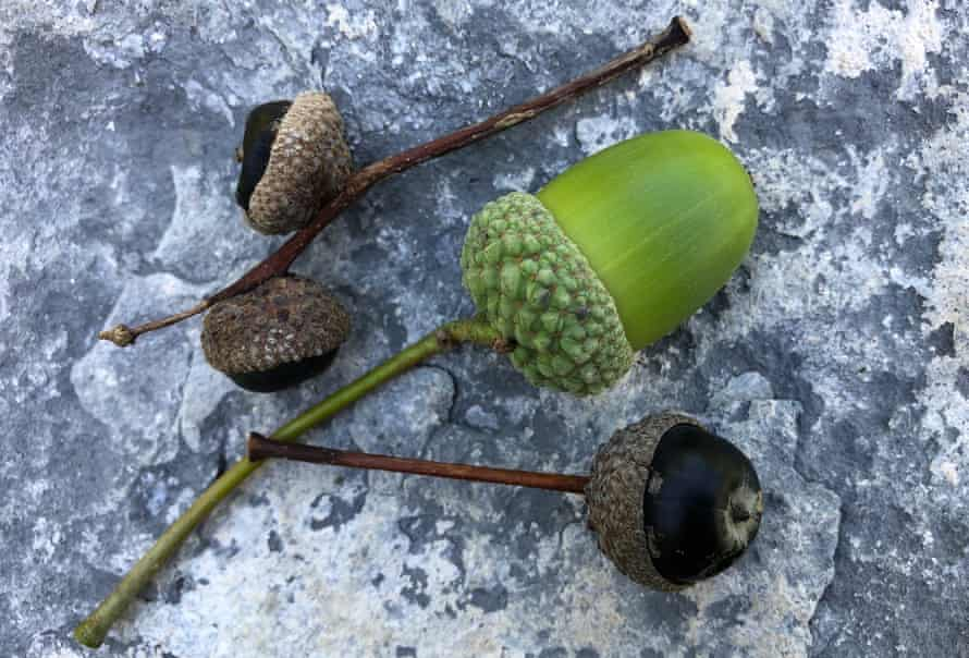Black acorns on withered stems alongside a green and unripe but viable acorn