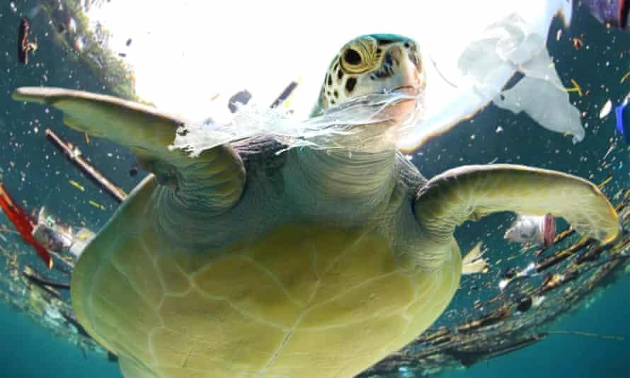 A sea turtle eating plastic waste