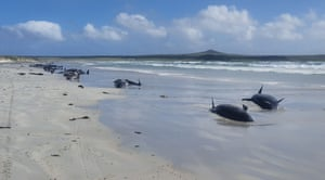 Some of the 100 dead pilot whales stranded on New Zealand's remote Chatham Islands. The marine mammals beached themselves over the weekend but rescue efforts were hampered by the isolated location, about 500 miles (800km) east of South Island, according to the Department of Conservation