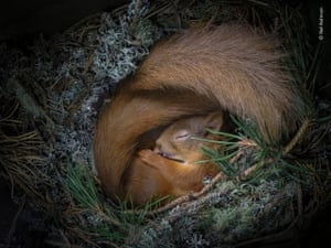 Sleeping red squirrel