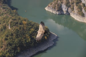 A griffon vulture flies over the Uvac river in the Uvac special nature reserve, Serbia.