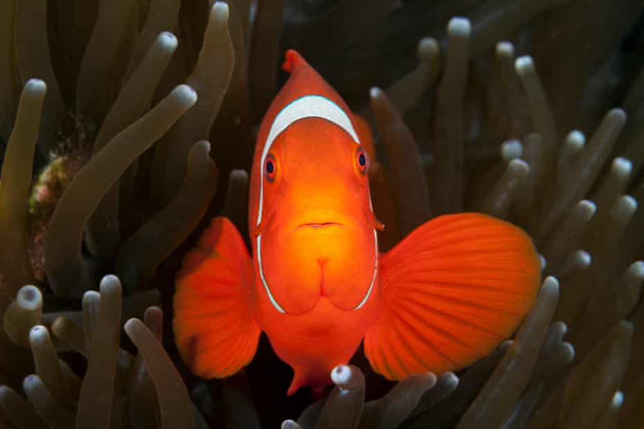 Close-up of Spinecheek Clownfish