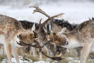 Deer clash antlers as snow falls in Richmond Park, London
