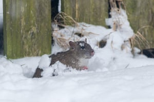 A rat forages for bird seed in a snowy garden in Pontrhydfendigaid, Ceredigion, Wales