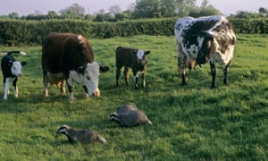 Badgers walk past cattle at a wildlife centre