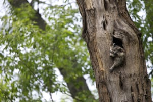A raccoon sleeps with his head sticking out of its nest inside a tree in New York's Central Park