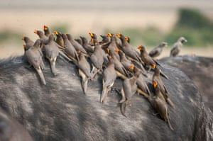 "He said: ""A classic alliance in the animal kingdom is often seen in the African Buffalos. Red-billed oxpeckers or other species often sit on the back of buffaloes, pecking in open wounds, picking vermin from the host's fur, and even looking deep into their ears and noses for food - typically a win-win situation for both."""