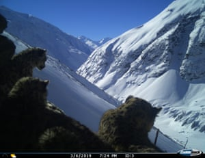 A winter camera trap survey captured this snow leopard and her cubs on a mountain in India's Gori Valley.