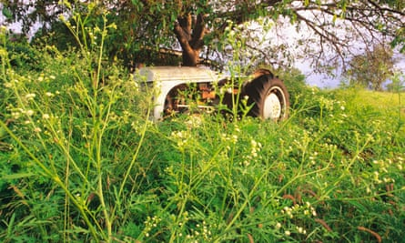 mass of overgrown green weeds with small yellow flowers growing over an old tractor