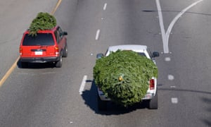 Christmas trees transported by cars on a road.