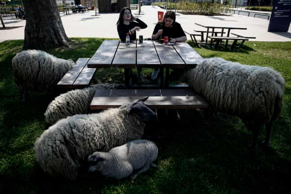 Sheep around a table in Paris, France