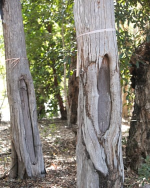 Ironwood trees with scars from making artefacts including bowls and shields from the Lama Lama ancestors