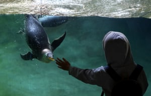 Cambron-Casteau, BelgiumA child reaches out to a Gentoo penguin as it swims in its enclosure at Pairi Daiza park. One of the biggest zoos in Europe, It has recently added ten Gentoo penguins.