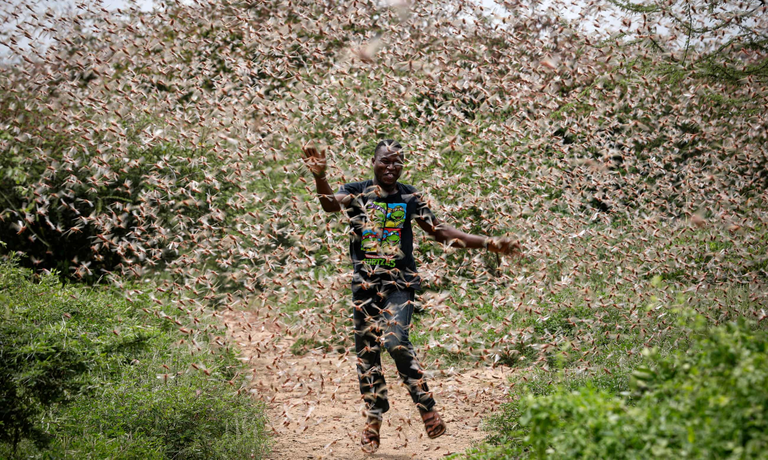 Billions of locusts swarm through Kenya - in pictures