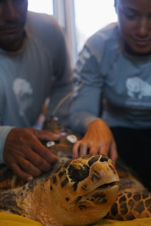 Biology students assess one of the few remaining hawksbill sea turtles in Puerto Rico before it is returned to the sea