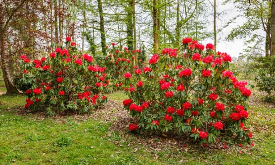 Red rhododendron 'Unknown Warrior' bushes flowering in spring in Ramster Garden near Chiddingfold, Surrey