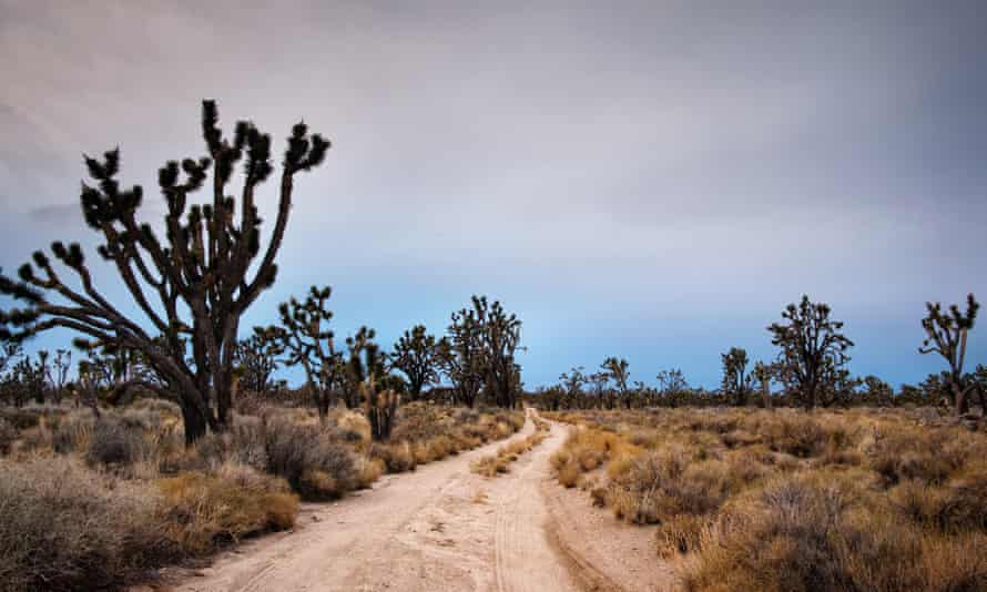 Most of Joshua Tree national park could become uninhabitable for its eponymous trees, according to a new study.