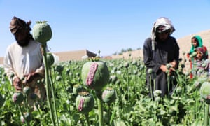 Afghan farmers extract raw opium from poppy buds at a poppy field in Kandahar, Afghanistan, 12 April 2020.