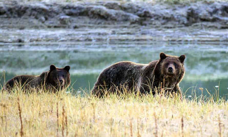 A grizzly bear and her cub walk near Pelican Creek in Yellowstone national park, Wyoming. Last year, Wildlife Services killed more than 1.5 million native wild animals across the country, including bears.