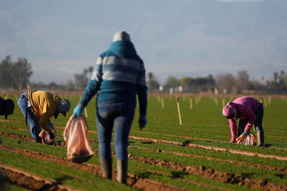 Farmworkers clean a carrot field in Arvin, California, during the coronavirus pandemic.