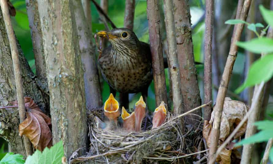 Hungry blackbird fledglings beg their parent for a meal.