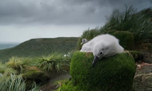 A grey-headed albatross chick in Seven Worlds, One Planet.