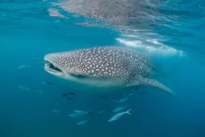 Previously, genetic research indicated that whale sharks mixed within distinct populations in the Indo-Pacific and Atlantic Ocean. This new study used stable isotope analysis, a biochemical technique, to demonstrate that whale sharks feeding at three disparate sites in the Western Indian Ocean (Mozambique and Tanzania) and the Arabian Gulf (Qatar) rarely swim more than a few hundred kilometres north or south from these areas.