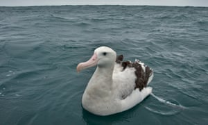 a Wandering Albatross resting on the waters around new zealand